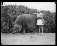 Girl touches a large pig at the Los Angeles County Fair, Pomona, 1929