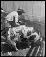 Man washing a pig at the Los Angeles County Fair, Pomona, 1933