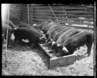 Hogs eat from a trough at the Los Angeles County Fair, Pomona, 1930