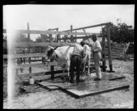 Two men wash a cattle at the Los Angeles County Fair, Pomona, 1930