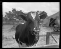 Steer at the Los Angeles County Fair, viewed close-up, Pomona, 1930