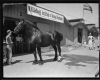 Man and a horse at the Los Angeles County Fair, Pomona, 1932