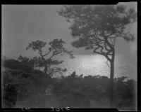 Torrey pine trees, Torrey Pines State Natural Reserve, La Jolla