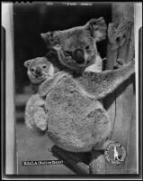 Koalas on a eucalyptus branch