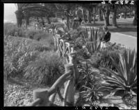 Woman standing among century plants behind the branch eucalyptus fence at Palisades Park, Santa Monica, 1939-1949