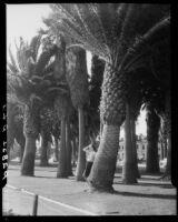 Woman among palm trees at Palisades Park, Santa Monica, 1937-1950