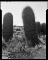 Close up view of a barrel cactus, Palm Springs vicinity, 1940