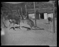 Kangaroo and deer, Griffith Park Zoo, Los Angeles, 1938