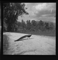 Peacock, Rancho Santa Anita, Arcadia, 1938