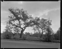 Oak trees, Rancho Santa Anita, Arcadia, 1933