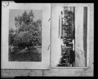 Orange tree and tourist train, Hollywood, [1905-1910?], rephotographed 1934