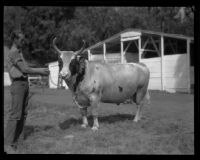 Bull on display at the Southern California Fair, Riverside, 1929