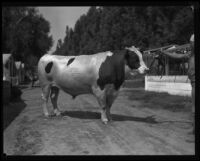 Holstein on display at the Southern California Fair, Riverside, 1929