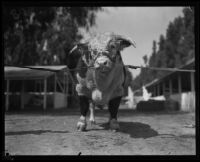 Hereford on display at the Southern California Fair, Riverside, 1929