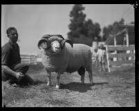 Ram on display at the Southern California Fair, Riverside, 1929