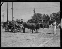 Ox team pulling a cart for the Old Spanish Days Fiesta, Santa Barbara, 1932