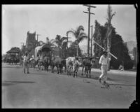 Ox team and drivers in the parade of the Old Spanish Days Fiesta, Santa Barbara, 1930