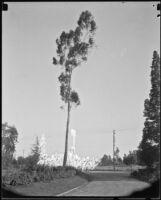 Road, eucalyptus tree, and billboards, Topanga Canyon, [1920s or 1930s?]