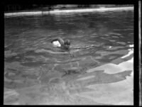 Jimmy Cherry sets aquatic endurance record, Los Angeles, 1928