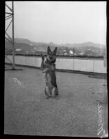 German shepherd Monee demonstrating tricks at the Roosevelt Hotel, Hollywood, Dec. 10, 1929
