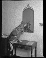 German shepherd Monee dressed up sitting on a desk at the Roosevelt Hotel (probably), Hollywood, 1929