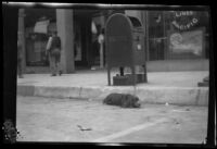 Dog resting on a commercial street next to a mailbox after the Long Beach earthquake, Southern California, 1933