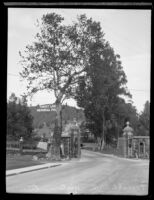 Historic sycamore tree, Forest Lawn Memorial Park, Glendale, 1930