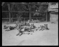 Lions and cubs at Gay's Lion Farm, El Monte, 1935