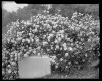 Rose bush, 1935
