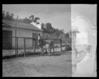 Zebras at the California Zoological Gardens, Los Angeles, 1935