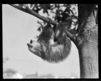 Sloth hanging from a tree at the California Zoological Gardens, Los Angeles, 1935