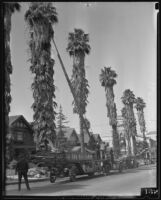 Firefighter Jack Ewing rescuing a cat from a palm tree, Los Angeles, 1935
