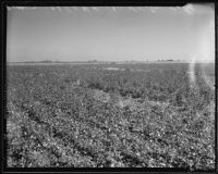 An expansive view of A.G. Busby's cotton field, trees and clear fields in distance, Fresno, 1935