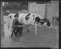 Jailer John L. Uhlik milking a cow, Los Angeles, 1935