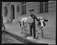 Jailer John L. Uhlik leading two cows to the Hollywood Police Station, Los Angeles, 1935