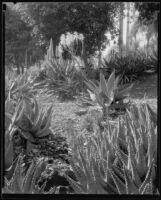 Agave plants at the Desert Garden at the Huntington Botanical Gardens, San Marino, 1927-1939