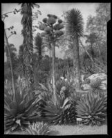 Agave Shawii at the Desert Garden at the Huntington Botanical Gardens, San Marino, 1927-1939