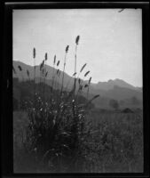 Mountain meadow, circa 1920