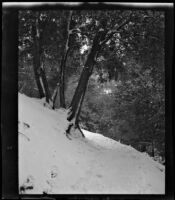 Trees on snow-covered slope, circa 1920