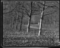 Orchard or allée, circa 1920