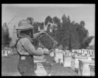 Beekeeper displays a tray covered in bees, Los Angeles County, 1935