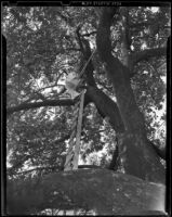 Picker scales eighty-six foot tall avocado tree, Duarte, 1938