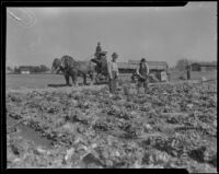 Men working in a field at the Los Angeles County Farm, Downey, 1920-1939