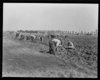 Men working in a vegetable field at the Los Angeles County Farm, Downey, 1920-1939