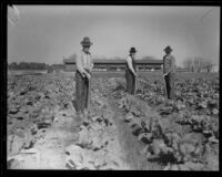Three men hoeing a field at the Los Angeles County Farm, Downey, 1920-1939