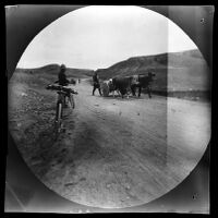 Teams of oxen transporting rock along the road from Kayseri to Sivas, Turkey, 1891