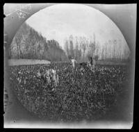 Sarts gathering cotton in fields, Tashkent vicinity, Uzbekistan, 1891