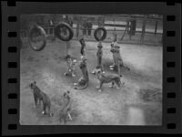 Lions playing with tires at Gay's Lion Farm, El Monte, 1935