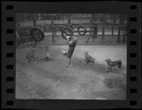 Lion swinging from tire at Gay's Lion Farm, El Monte, 1935