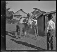 Three men try to catch a donkey in the barnyard, Glendale, 1898